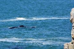 Baleia direita & vitela do sul, Hermanus, África do Sul imagem de stock