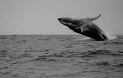 Baleia do Hunchback Fotos de Stock