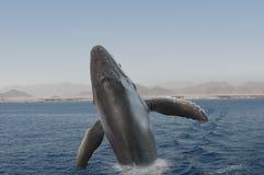 Baleia do Hunchback Imagens de Stock