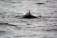 Baleia do mergulho Imagens de Stock Royalty Free