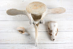 Baleia e mar Lion Bones Fotografia de Stock