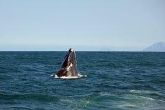 A baleia emerge da água e sorri no fotógrafo fotografia de stock royalty free