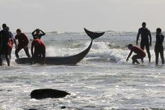Baleia encalhada Kommetjie Fotos de Stock