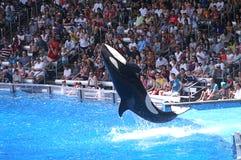 A baleia gira para trás Flip For Crowd Foto de Stock Royalty Free