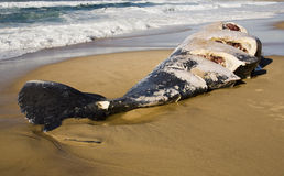 Baleia inoperante Imagens de Stock Royalty Free