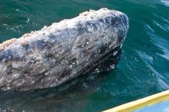 Baleia inquisidora ao lado de um barco Foto de Stock