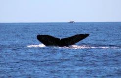 Baleia na opinião excelente de Los Cabos México da família das baleias no Oceano Pacífico imagem de stock royalty free