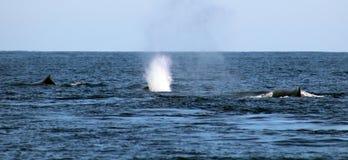 Baleia na opinião excelente de Los Cabos México da família das baleias no Oceano Pacífico fotos de stock royalty free