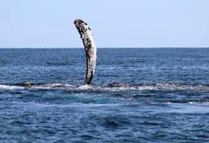Baleia na opinião excelente de Los Cabos México da família das baleias no Oceano Pacífico imagem de stock