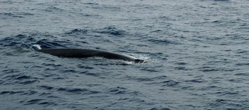 Baleia no arquipélago de Açores imagem de stock