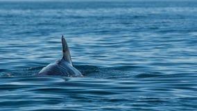 Baleia piloto Imagens de Stock