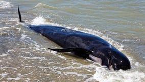 Baleia piloto inoperante no cuspe de adeus, Nova Zelândia foto de stock royalty free