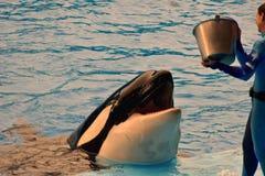 Baleia que espera o instrutor para jogar peixes em uma baleia de assassino da assinatura de SeaWorld do oceano foto de stock