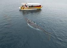Baleia que olha em Hervey Bay Queensland Foto de Stock Royalty Free