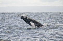 A baleia salta Imagem de Stock Royalty Free
