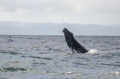 A baleia salta Fotografia de Stock Royalty Free