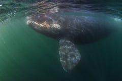 Baleia subaquática Imagens de Stock