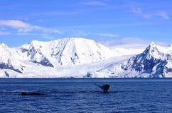 Baleias ao longo das costas polares, a Antártica Fotos de Stock Royalty Free