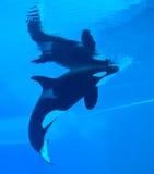 Baleias de assassino foto de stock royalty free