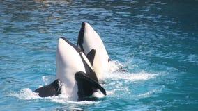Baleias de assassino fotografia de stock royalty free