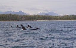 Baleias de assassino Imagens de Stock Royalty Free