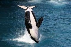 Baleias de assassino imagem de stock