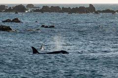 Baleias de assassino da orca da mãe e da vitela, Wellington, Nova Zelândia foto de stock