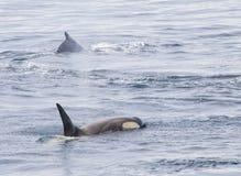 Baleias de assassino fora da costa da Antártica foto de stock