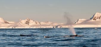 Baleias de corcunda adultas que surgem e que jorram, península antártica imagem de stock royalty free