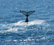 Baleias de corcunda australianas Imagem de Stock