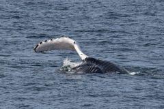 Baleias de corcunda com aleta que golpeiam a água imagens de stock royalty free
