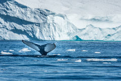 Baleias de corcunda que alimentam entre iceberg gigantes, Ilulissat, Greenla Imagens de Stock Royalty Free