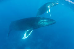 Baleias de corcunda que aumentam para surgir Imagem de Stock Royalty Free