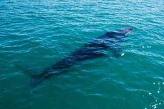 Baleias de corcunda que nadam em Austrália Imagem de Stock