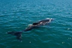 Baleias de corcunda que nadam em Austrália Foto de Stock