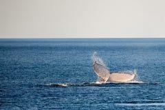 Baleias de corcunda que nadam em Austrália Imagens de Stock Royalty Free
