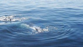 Baleias de corcunda que spyhopping video estoque