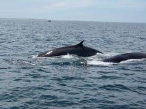 Baleias de Finback fotografia de stock