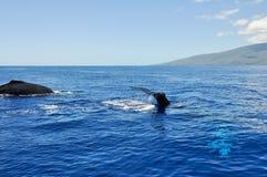 Baleias de Humpback em Lahaina, Maui (Havaí) fotografia de stock