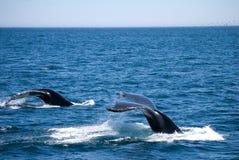 Baleias de Minkie fora da costa de St Johns Foto de Stock Royalty Free