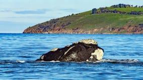 Baleias direitas do sul da migração Fotografia de Stock Royalty Free