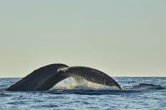 Baleias no Oceano Pacífico perto de Cabo San Lucas fotografia de stock