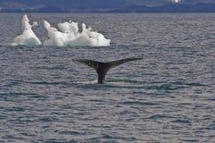 Baleias, pássaros e iceberg Imagem de Stock