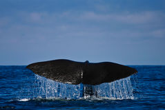 Baleine Image stock