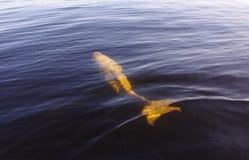 Baleine blanche Image stock