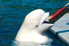 Baleine blanche Photographie stock libre de droits
