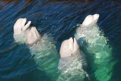 Baleine blanche Images libres de droits