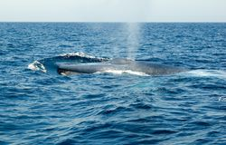 Baleine bleue Images stock