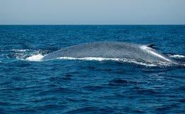 Baleine bleue Photos stock