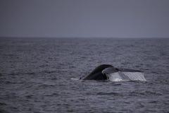 Baleine bleue Image libre de droits